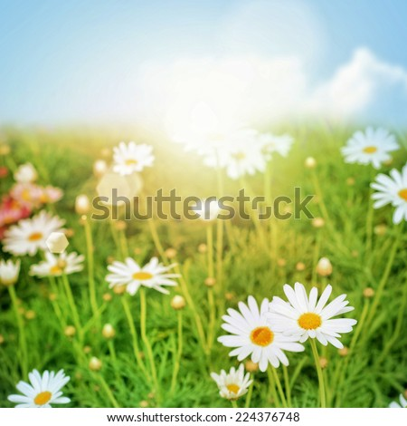 Green Nature Background. Daisy flower and grass.