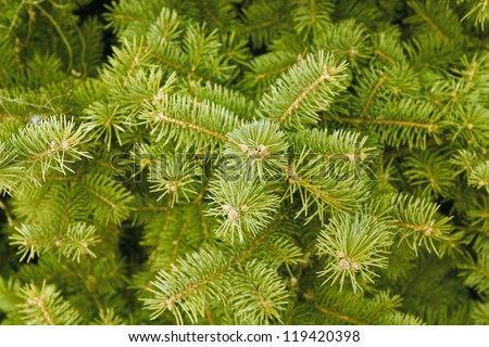 green needles of coniferous tree as a natural background - stock photo