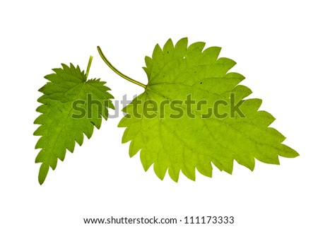 green nettle  isolated on white