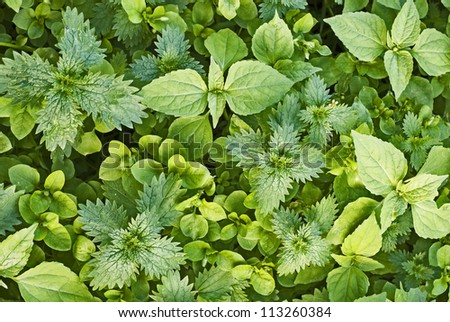 green nettles, weeds background - stock photo