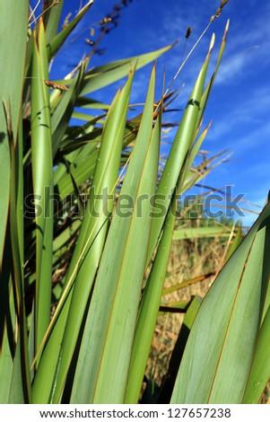 Green New Zealand flax bush closeup detail - stock photo