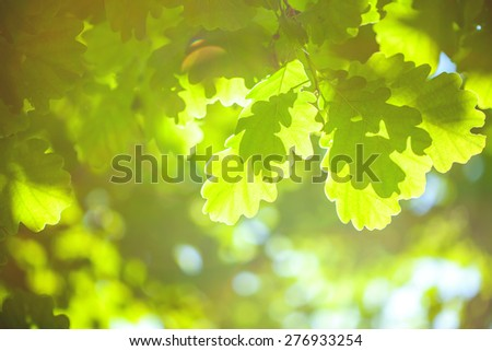Green oak leaves with sunlight. Macro image. - stock photo