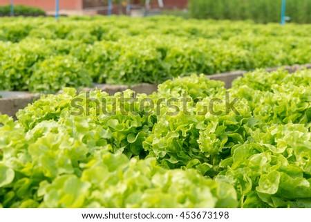 Green Oak salad plant, hydroponic vegetable leaves - stock photo