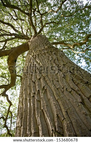 Green oak tree - stock photo