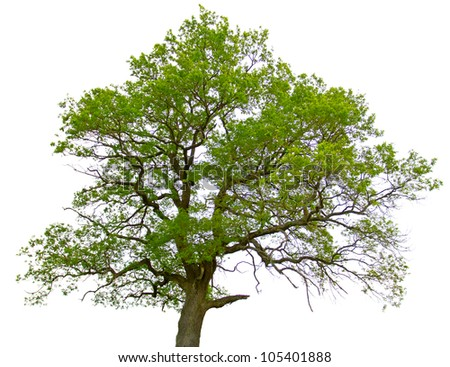 Green oak tree isolated on white background - stock photo