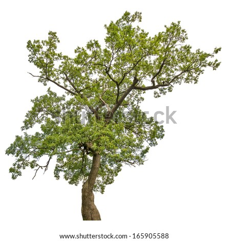 green oak tree isolated on white background - stock photo