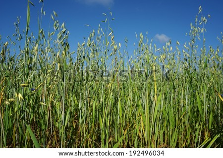 green oat field on summer day - stock photo
