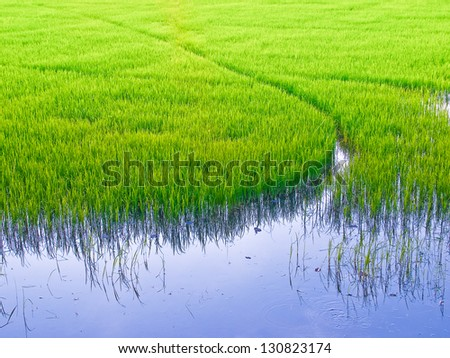green of rice field - stock photo