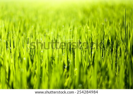Green of rice in paddy rice field on the morning - stock photo