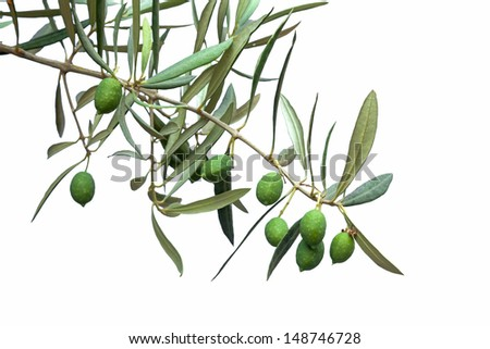 Green olive branch isolated on white - stock photo