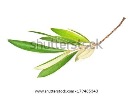 green olive branch on white