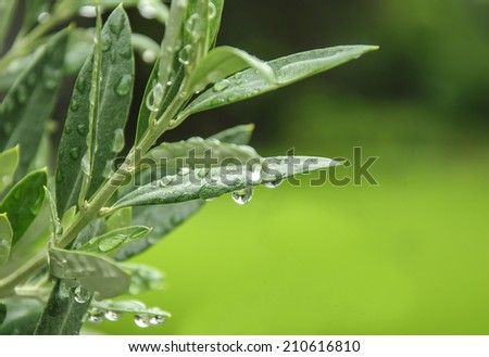 green olive leaves - stock photo