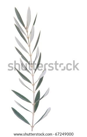 green olive tree branch isolated on white background - stock photo