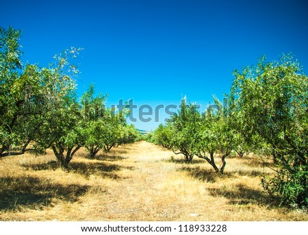 Green Olive trees at Greece country side - stock photo