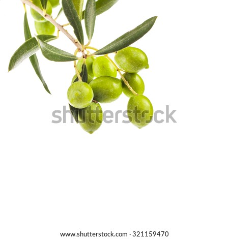 green olives in olive tree branch   isolated on a white background      - stock photo