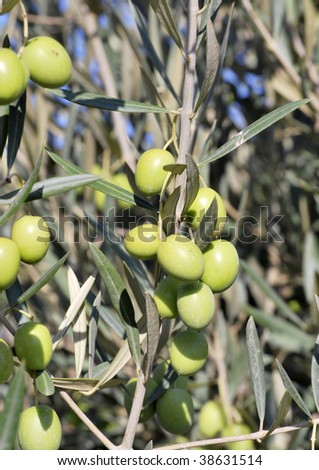 Green olives in the tree. Malaga Spain.