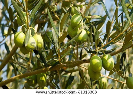 Green olives on a tree - stock photo