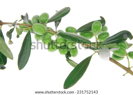 green olives on branch isolated on white background