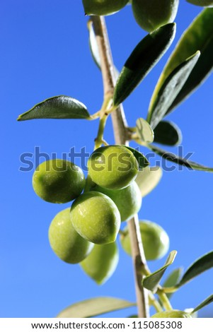 green olives on branch with leaves over blue sky
