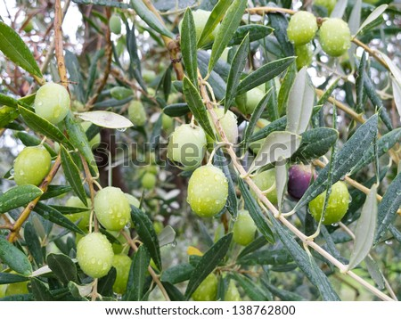 Green olives on the tree wet from the rain after a storm