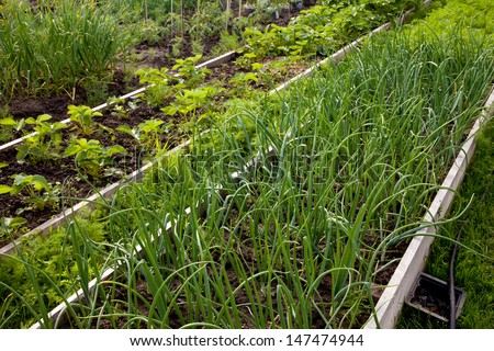 green onions growing in the garden - stock photo