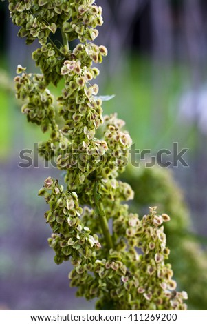 Green orach seeds left on the strain to dry (Atriplex hortensis)