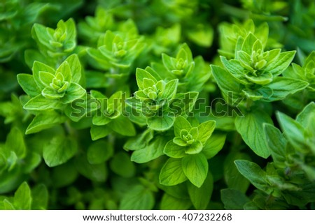 Green oregano - stock photo