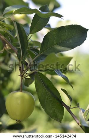 Green organic apple - stock photo