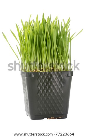 Green organic wheat grass against a white background.
