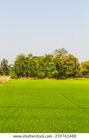 Green paddy fields on land adjacent to the forest trees of the countryside. - stock photo