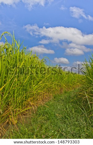 green paddy in field,Thai.