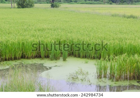 Green paddy rice field, Thailand