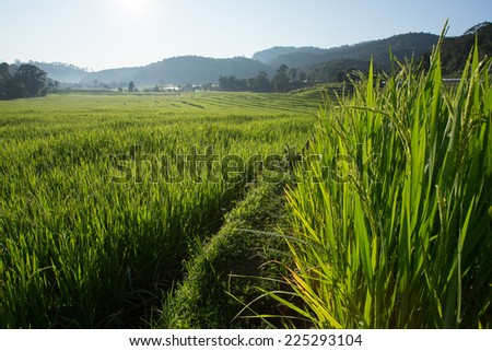 green paddy rice fields of agriculture plantation - stock photo