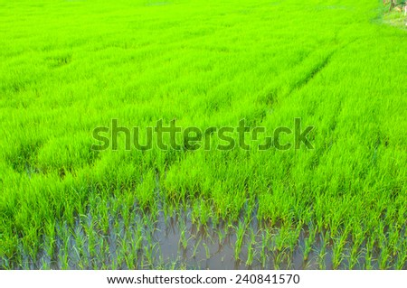 green paddy rice in field - stock photo