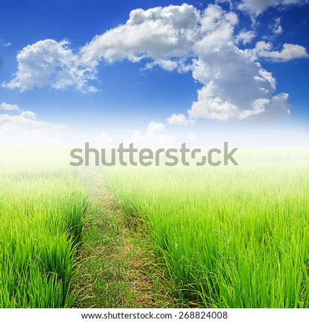 Green paddy rice in field and blue sky background