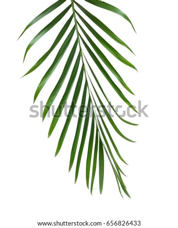 Green palm foliage isolated