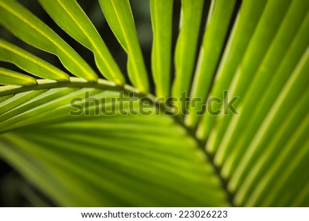 Green palm leaf at Asia.Coconut trees are very popular in Southeast Asia such as Thailand, Vietnam ...