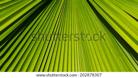 Green palm leaf close up background.