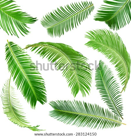 Green palm leaves isolated on white - stock photo
