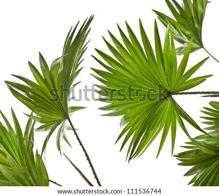 green palm leaves (Livistona Rotundifolia palm tree)  isolated - stock photo