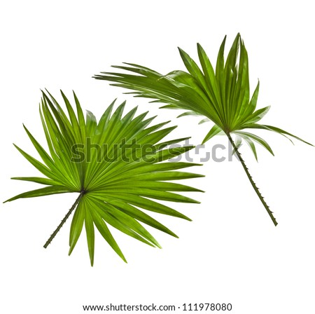 green palm leaves (Livistona Rotundifolia palm tree)  isolated on white background - stock photo