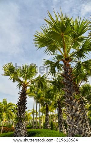 Green Palm Tree  blue sky background. - stock photo