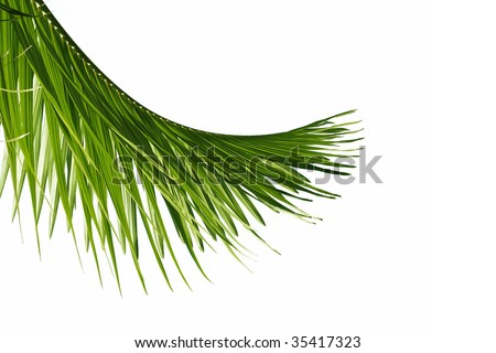 Green palm tree leave