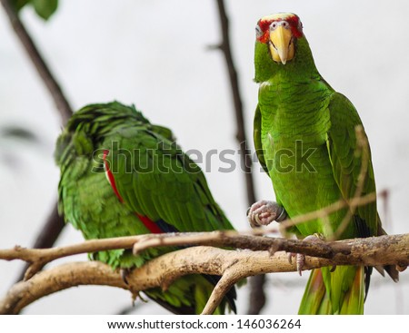 Green Parrot (Amazona albifrons) sitting in a tree