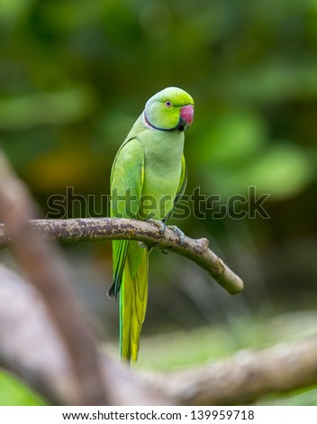 green parrot bird on wood branch - stock photo