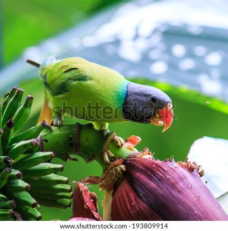 Green parrot eating a banana - stock photo