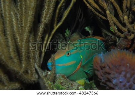 Green parrot fish sleeping