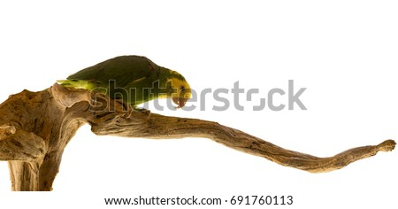 Green Parrot sitting on a branch - isolated on white.