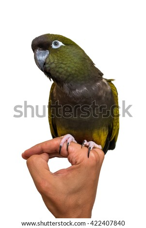 Green parrot sitting on a hand