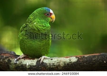 Green parrot White-fronted Amazon, Amazona albifrons, Belize - stock photo